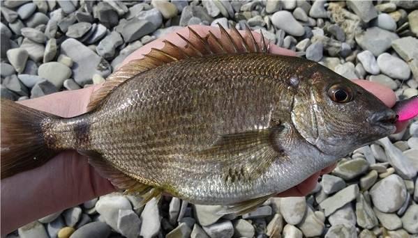 рыба черного моря фото и названия кобра