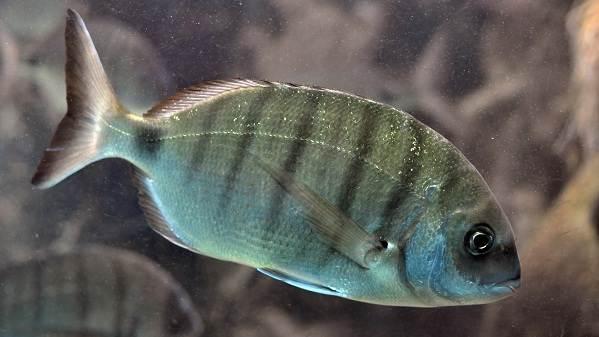 Рыбы-черного-моря-Названия-описания-и-особенности-рыб-черного-моря-4