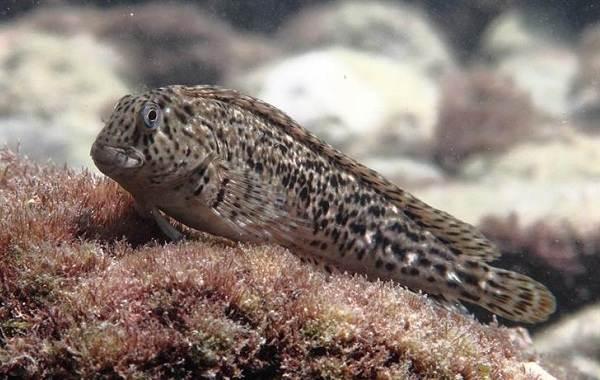 Рыбы-черного-моря-Названия-описания-и-особенности-рыб-черного-моря-51
