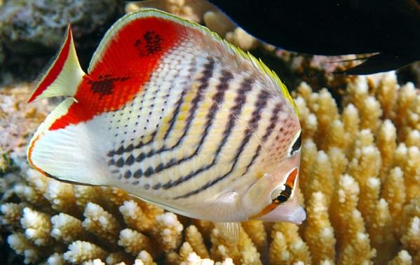 Рыбы-Красного-моря-Названия-описания-и-особенности-рыб-Красного-моря-10