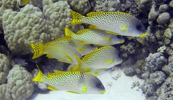 Рыбы-Красного-моря-Названия-описания-и-особенности-рыб-Красного-моря-11