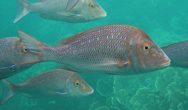 Рыбы-Красного-моря-Названия-описания-и-особенности-рыб-Красного-моря-12