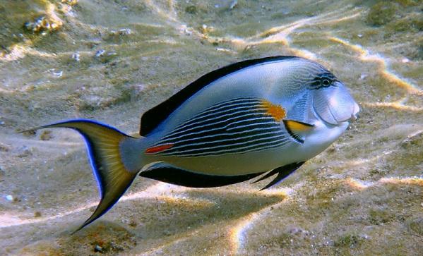 Рыбы-Красного-моря-Названия-описания-и-особенности-рыб-Красного-моря-17