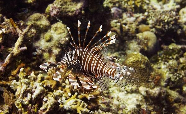 Рыбы-Красного-моря-Названия-описания-и-особенности-рыб-Красного-моря-20