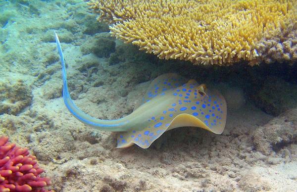 Рыбы-Красного-моря-Названия-описания-и-особенности-рыб-Красного-моря-22