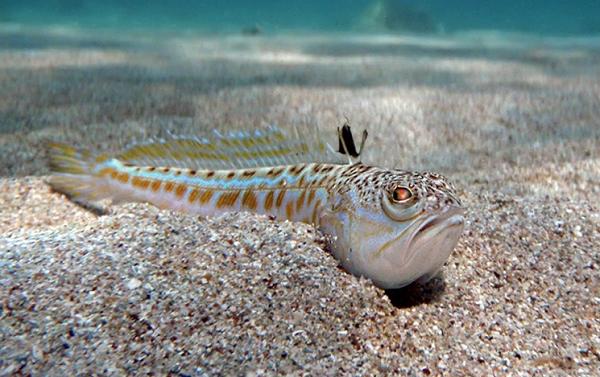 Рыбы-Красного-моря-Названия-описания-и-особенности-рыб-Красного-моря-23