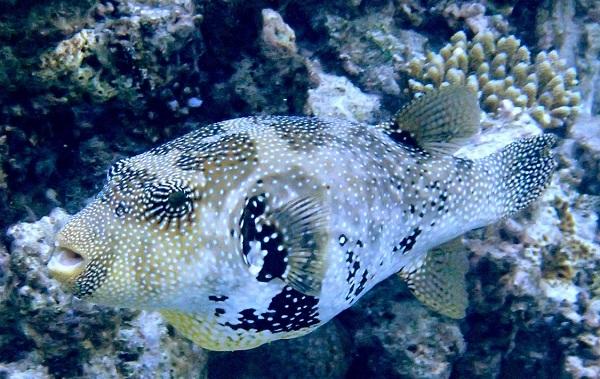 Рыбы-Красного-моря-Названия-описания-и-особенности-рыб-Красного-моря-25
