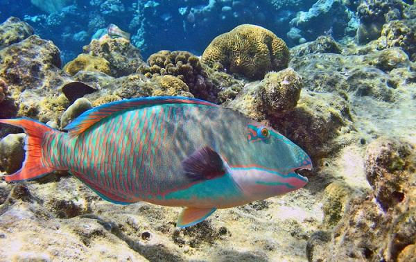 Рыбы-Красного-моря-Названия-описания-и-особенности-рыб-Красного-моря-3