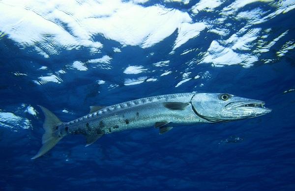 Рыбы-Красного-моря-Названия-описания-и-особенности-рыб-Красного-моря-31
