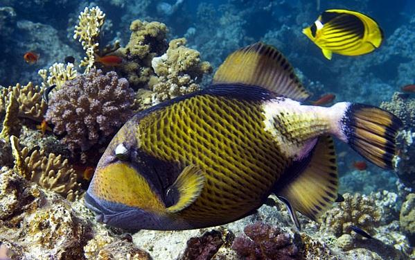 Рыбы-Красного-моря-Названия-описания-и-особенности-рыб-Красного-моря-34
