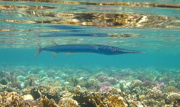 Рыбы-Красного-моря-Названия-описания-и-особенности-рыб-Красного-моря-36