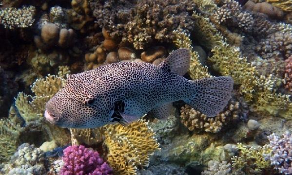 Рыбы-Красного-моря-Названия-описания-и-особенности-рыб-Красного-моря-37