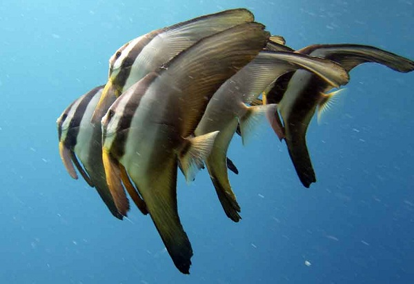 Рыбы-Красного-моря-Названия-описания-и-особенности-рыб-Красного-моря-38
