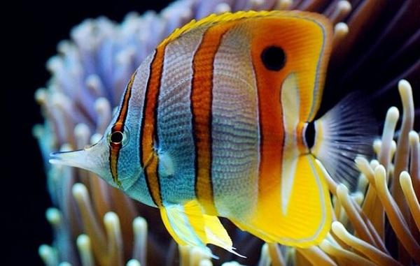 Рыбы-Красного-моря-Названия-описания-и-особенности-рыб-Красного-моря-9