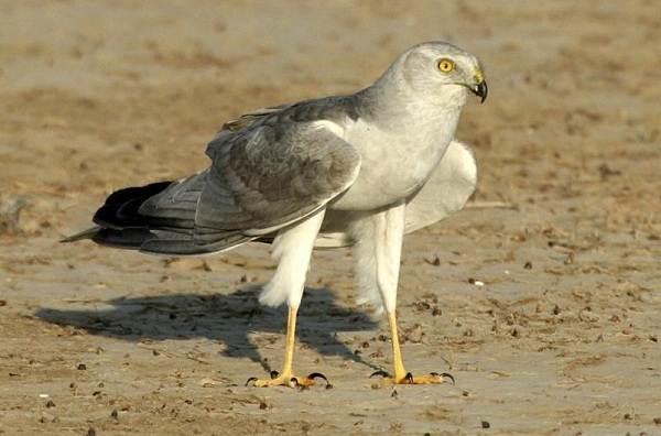 Степной-лунь-птица-Описание-и-особенности-степного-луня-4
