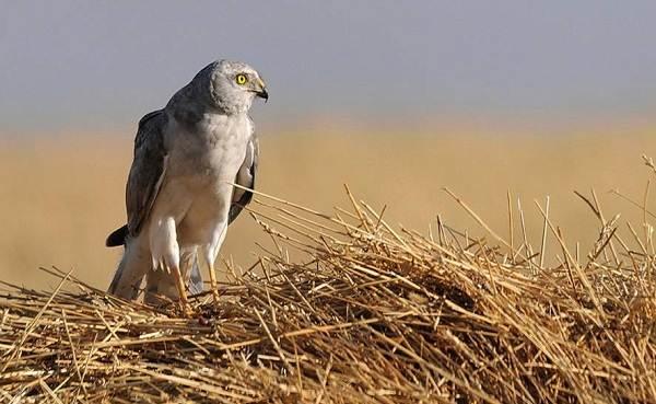 Степной-лунь-птица-Описание-и-особенности-степного-луня-5