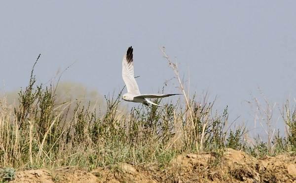 Степной-лунь-птица-Описание-и-особенности-степного-луня-7