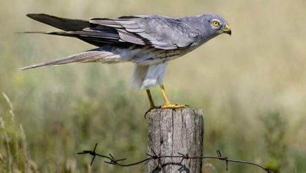 Степной лунь птица. Описание и особенности степного луня