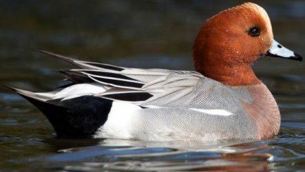 Свиязь утка птица. Образ жизни и среда обитания свиязи