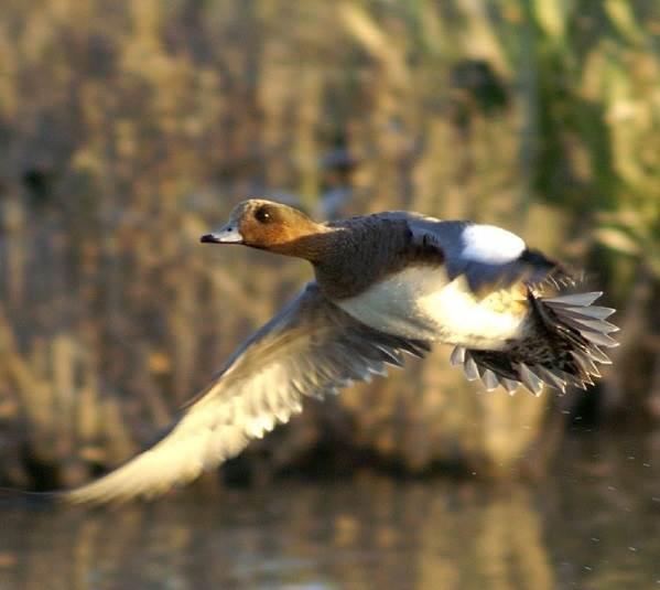 Свиязь-утка-птица-Образ-жизни-и-среда-обитания-свиязи-6