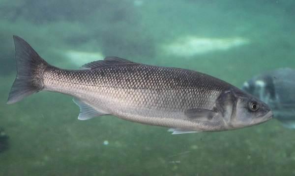 Хищные-рыбы-Названия-описания-и-особенности-хищных-рыб-14