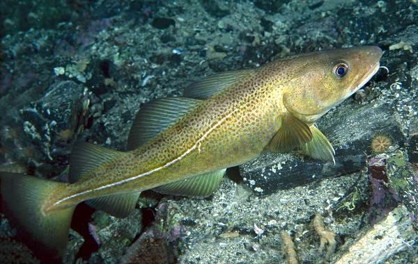 Хищные-рыбы-Названия-описания-и-особенности-хищных-рыб-19