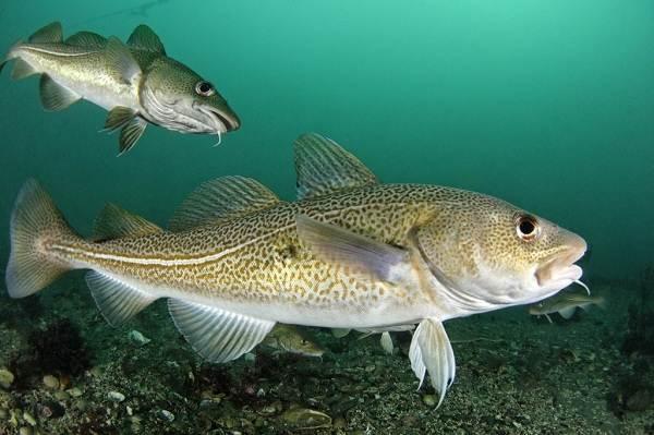 Хищные-рыбы-Названия-описания-и-особенности-хищных-рыб-20