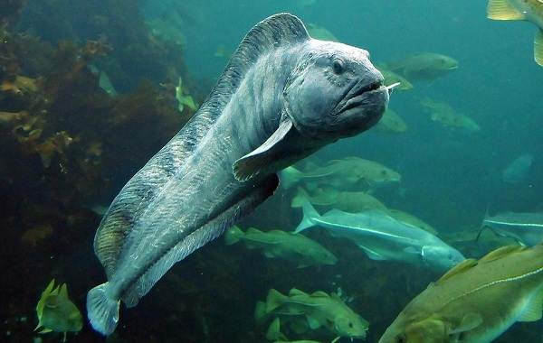 Хищные-рыбы-Названия-описания-и-особенности-хищных-рыб-21