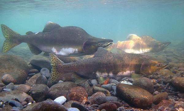 Хищные-рыбы-Названия-описания-и-особенности-хищных-рыб-22