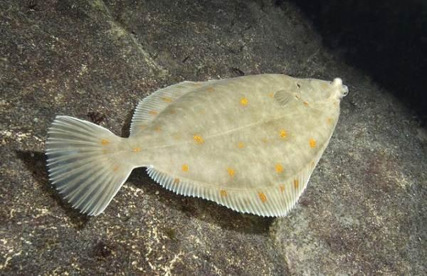 Хищные-рыбы-Названия-описания-и-особенности-хищных-рыб-29