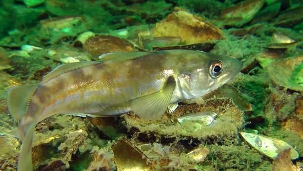 Хищные-рыбы-Названия-описания-и-особенности-хищных-рыб-31