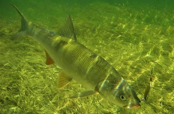 Хищные-рыбы-Названия-описания-и-особенности-хищных-рыб-34