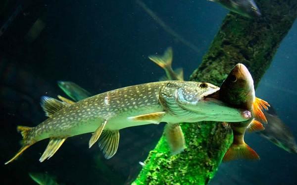Хищные-рыбы-Названия-описания-и-особенности-хищных-рыб-36