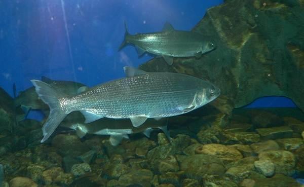 Хищные-рыбы-Названия-описания-и-особенности-хищных-рыб-43
