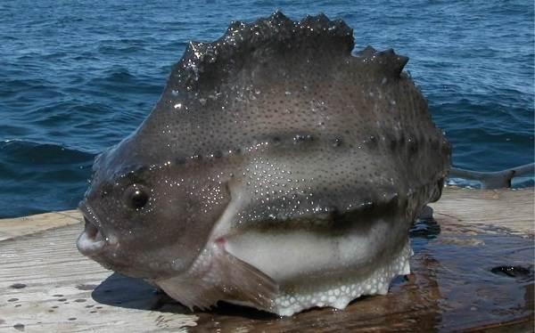 Хищные-рыбы-Названия-описания-и-особенности-хищных-рыб-44