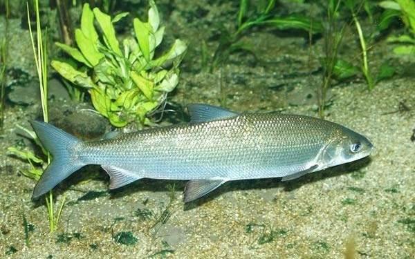Хищные-рыбы-Названия-описания-и-особенности-хищных-рыб-46