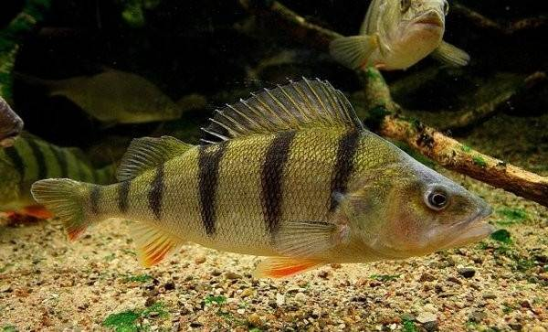 Хищные-рыбы-Названия-описания-и-особенности-хищных-рыб-48