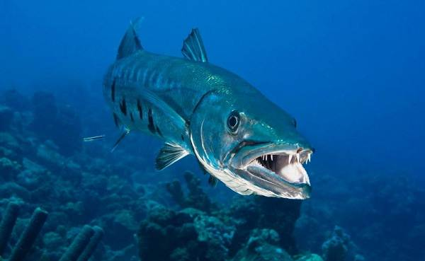 Хищные-рыбы-Названия-описания-и-особенности-хищных-рыб-5