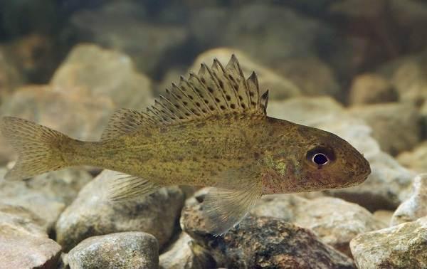 Хищные-рыбы-Названия-описания-и-особенности-хищных-рыб-51