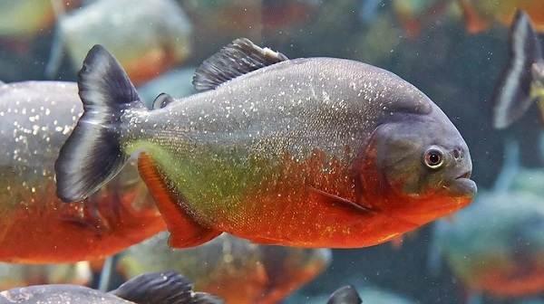 Хищные-рыбы-Названия-описания-и-особенности-хищных-рыб-55