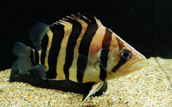 Хищные-рыбы-Названия-описания-и-особенности-хищных-рыб-58