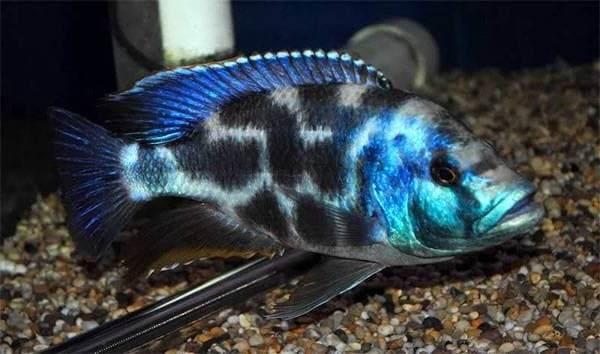 Хищные-рыбы-Названия-описания-и-особенности-хищных-рыб-59