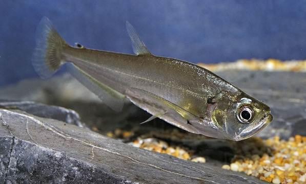 Хищные-рыбы-Названия-описания-и-особенности-хищных-рыб-62