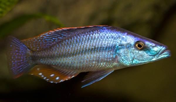 Хищные-рыбы-Названия-описания-и-особенности-хищных-рыб-64
