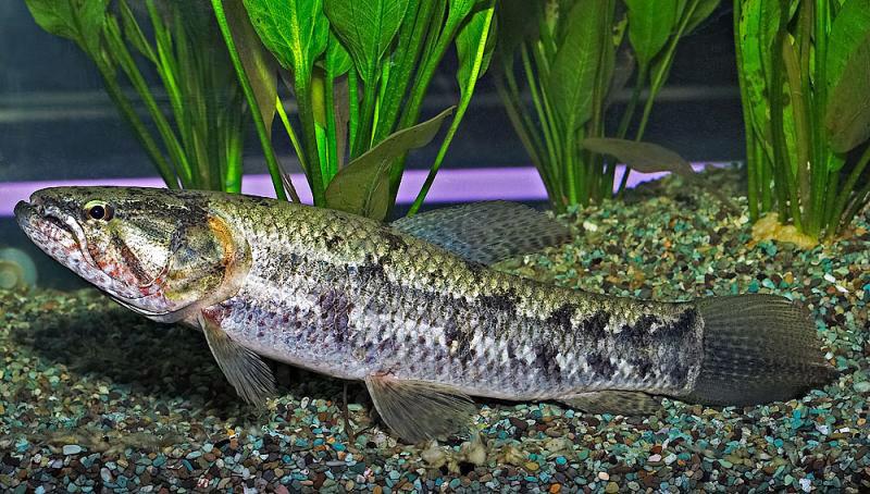 Хищные-рыбы-Названия-описания-и-особенности-хищных-рыб-66