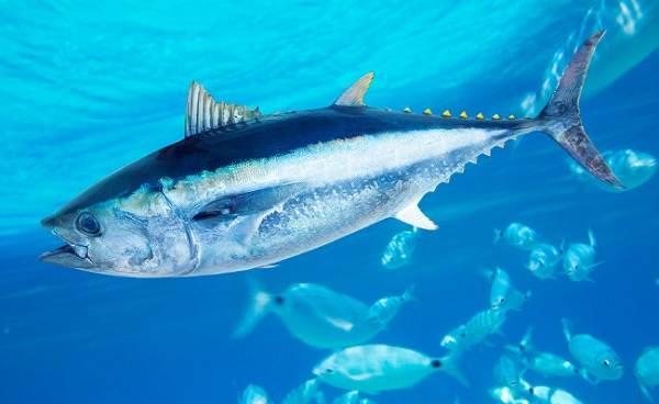 Хищные-рыбы-Названия-описания-и-особенности-хищных-рыб-9