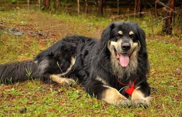 Хотошо-собака-Описание-особенности-уход-и-цена-породы-хотошо-1