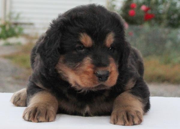 Хотошо-собака-Описание-особенности-уход-и-цена-породы-хотошо-10