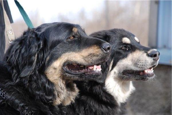 Хотошо-собака-Описание-особенности-уход-и-цена-породы-хотошо-12