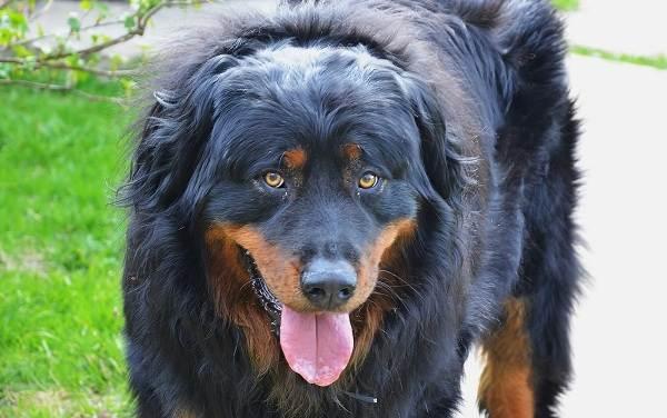 Хотошо-собака-Описание-особенности-уход-и-цена-породы-хотошо-2